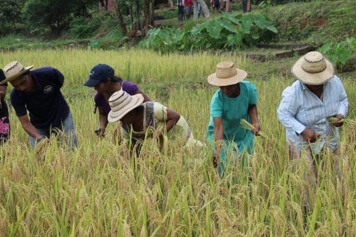 Apoyo a productores de arroz